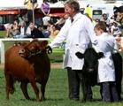 Dexter-cattle -2a
